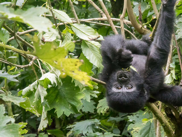 Uganda Wildlife Gorilla Trekking Adventure