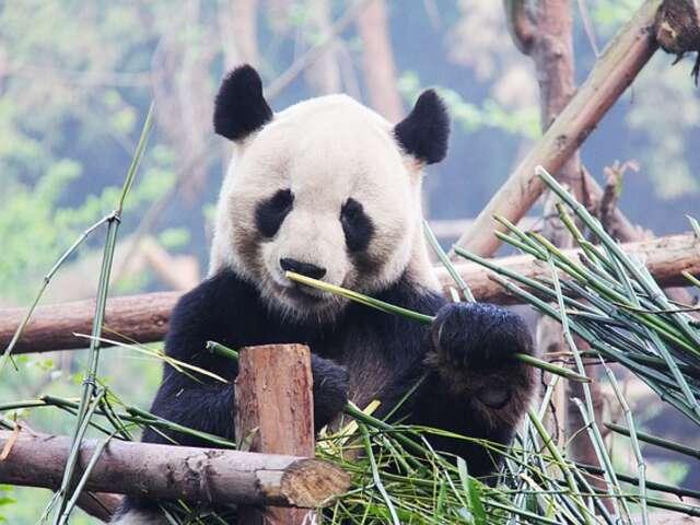 Friday, April 17: Chengdu