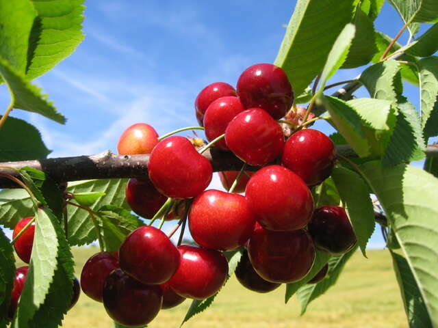 "Have a ""Cherry Time"" in Traverse City, Michigan"