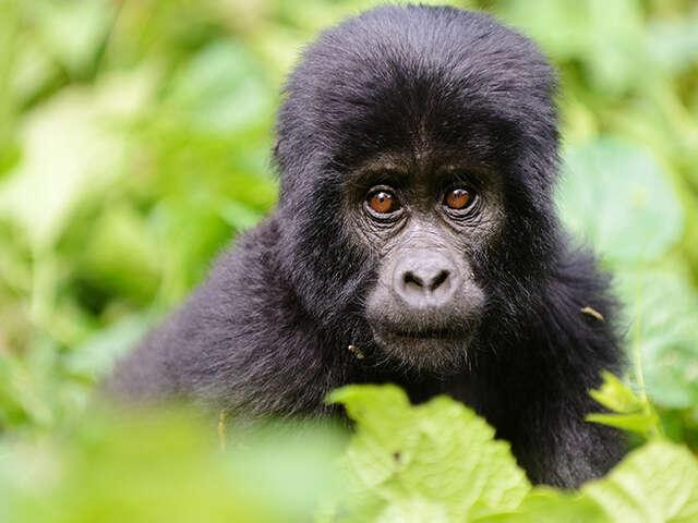 Rwanda & Uganda Gorilla & Chimp Adventure