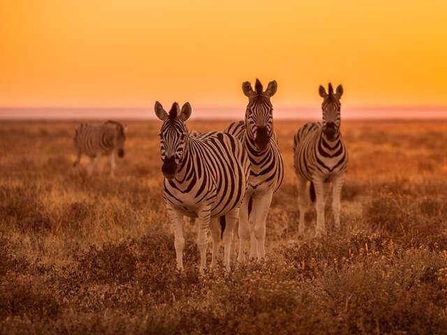 banner-zebras.jpg