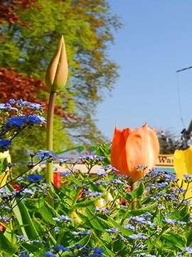 Springtime Tulip River Cruise
