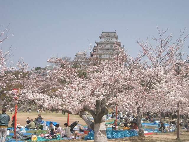 Hanami Tips: View Cherry Blossoms Like the Japanese