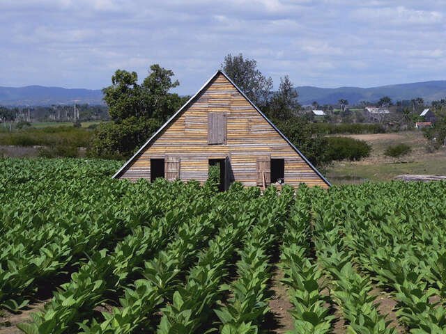 Tobacco Plantation - Pinar