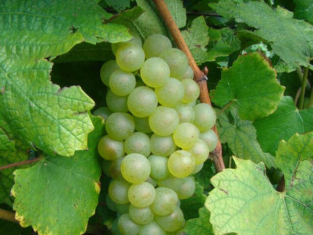 The International Cool Climate Chardonnay Celebration Celebrates One Cool Grape