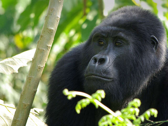 GORILLA TREK INDEPENDENT ADVENTURE