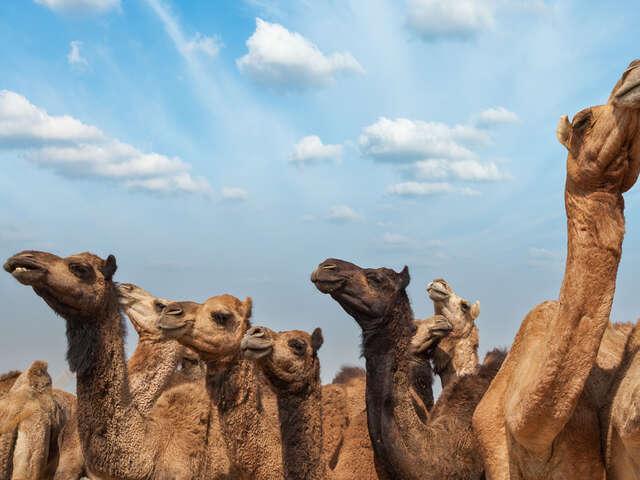 Pushkar Camel Fair & Rajasthan Adventure