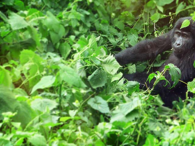 Rwanda and Uganda Gorilla & Chimp Adventure